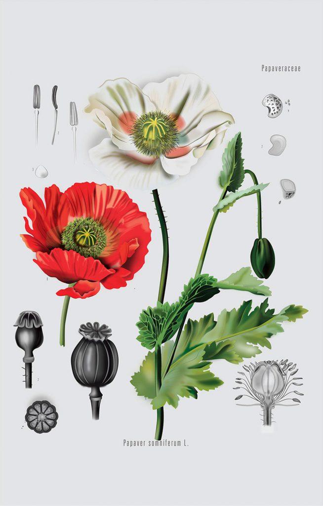 scientific illustration of plant life